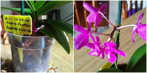 phalaenopsis orchid with small purple blooms iheartorchids com