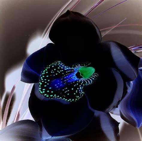 imagenes orquideas negras orqu 237 dea negra black orchid interessantes e raras