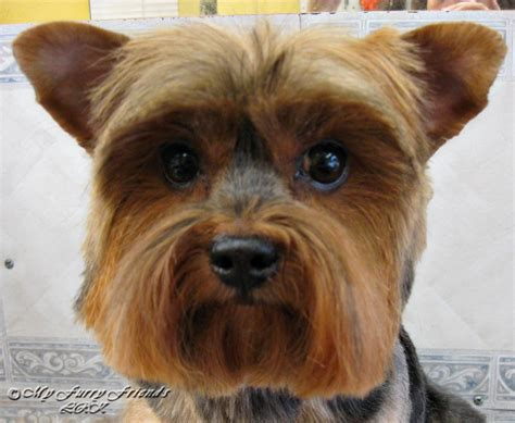 yorkie tipped ears pet grooming the the bad the tuesdays tip 12 ear styles