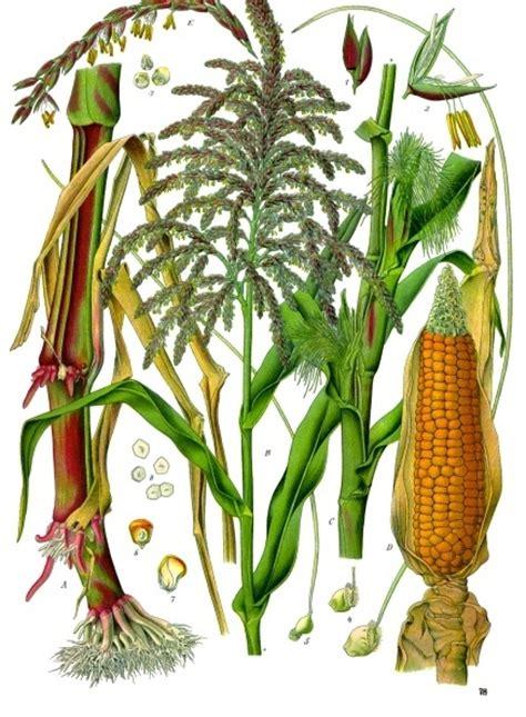 Corn L by Maize