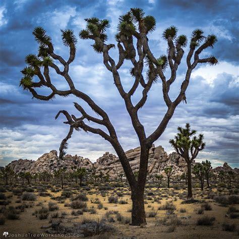 Joshua Tree top 10 tips for visiting joshua tree joshua tree