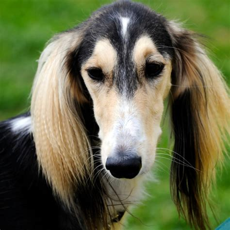 saluki puppies for sale saluki puppies for sale