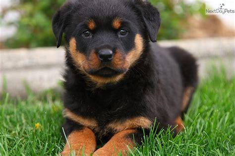 lancaster rottweiler puppies rottweiler puppy for sale near lancaster pennsylvania ec184252 0651