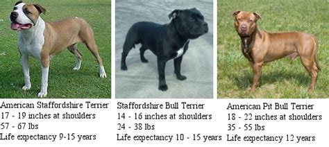 pitbull types pit bulls breeds types