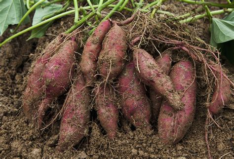 Containers For Vegetable Gardening - how to grow sweet potatoes in the home garden