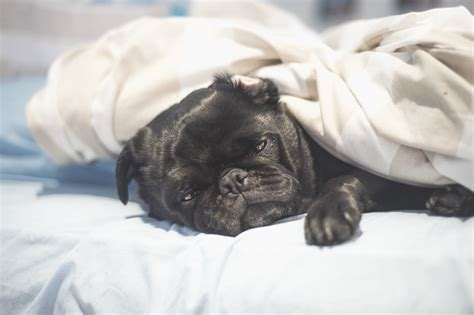 bed pugs where pugs sleep there s no right or wrong the pug diary