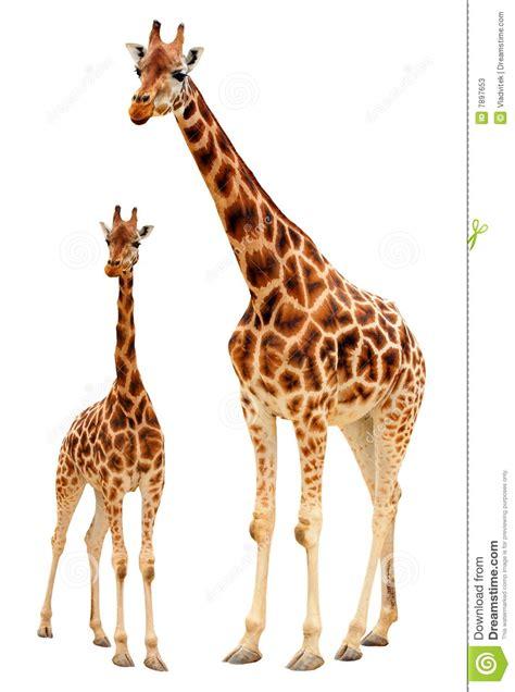 imagenes de jirafas en familia familia de la jirafa fotos de archivo imagen 7897653