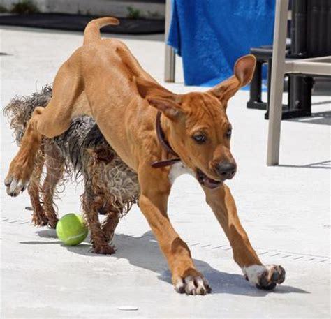 zidaho dogs ridgeback mag breeds picture