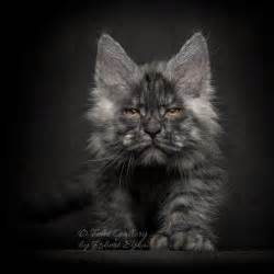 maine coon colors what are the most common colors of maine coon cat