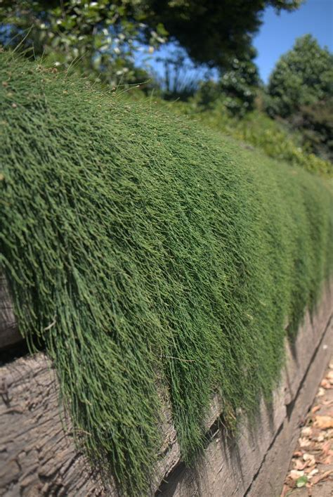 Casuarina Cousin It Plants Pinterest Garden Wall Australia