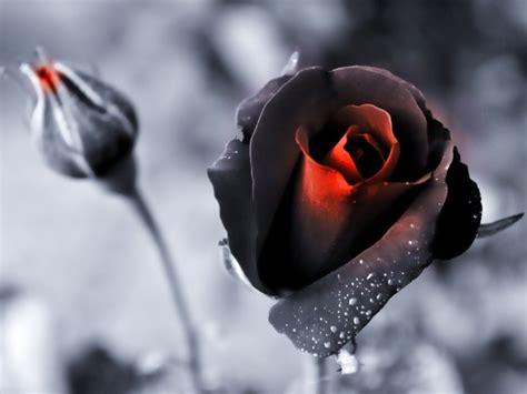 imagenes de rosas negras hermosas nature black flowers roses color isolation wallpaper