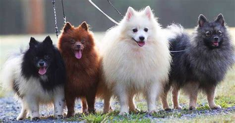 Japanese Apartment Size German Spitz Dog Breeds Info Characteristics Facts