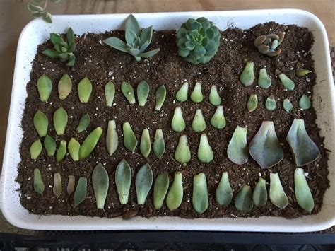 How To Successfully Propagate Succulents In 5 Easy Steps - propagate succulents from leaves propagate succulents