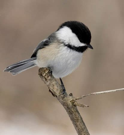 black capped chickadee aspen song wild bird food