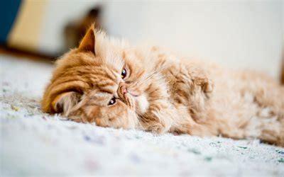 wallpapers persian cat lazy cat cute animals