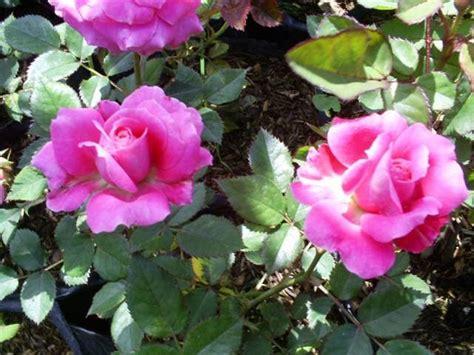 Pupuk Yang Bagus Untuk Bunga Mawar chebiecalchemist mengapa tanaman mawarku tidak berbunga