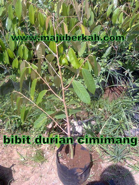 Bibit Tanaman bibit durian cimimang bibit tanaman durian cimimang jual