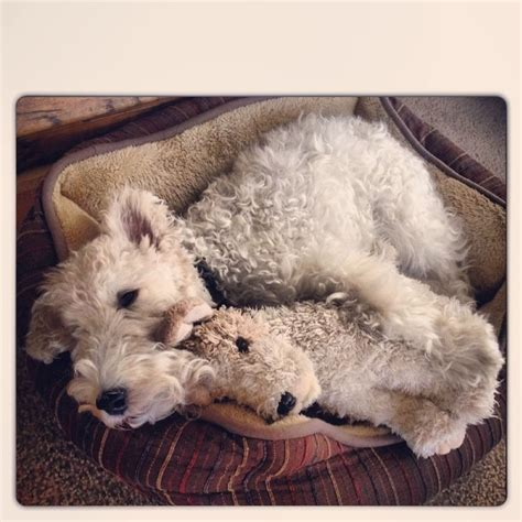 Totebag Tob 3827 25 best ideas about lakeland terrier on