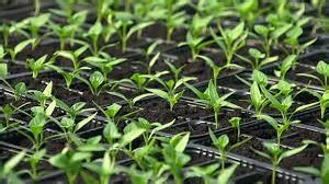 Pupuk Bunga Cabai waktu pemberian pupuk pada tanaman cabai tanaman bunga hias