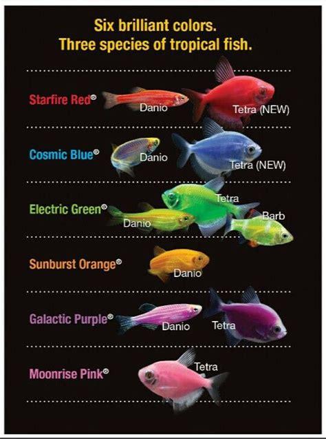 glofish colors glofish colors and species aquarium
