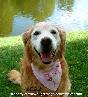 golden retriever lump on chest awareness month s my vet visits golden woofs