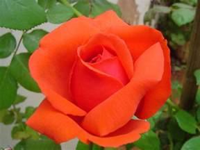blog da rosa vermelha rosas