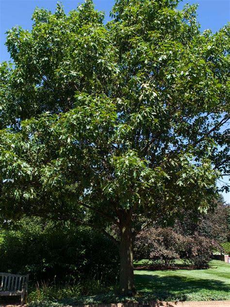 red oak chicago botanic garden