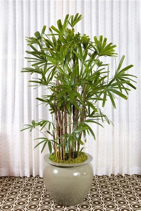 tall indoor plants   beautiful  easy  maintain