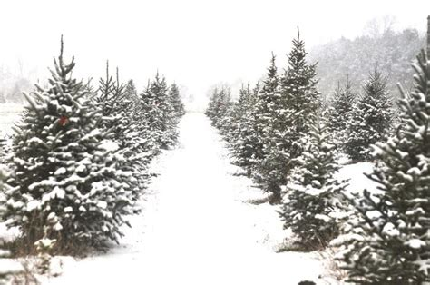 cut your own christmas tree farms are ready for holiday