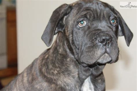 corso puppies price meet quot purple quot a corso mastiff puppy for sale for 600 price reduced purple