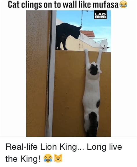 Lion King Cell Phone Meme - cat clings on to wall like mufasa lad bible real life lion