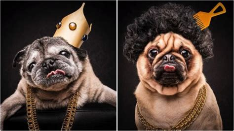 how much are pugs in australia the pug project is turning pugs into rappers yeah dawg