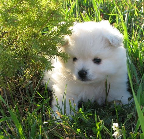 american eskimo and pomeranian pomimo american eskimo pomeranian mix info and pictures
