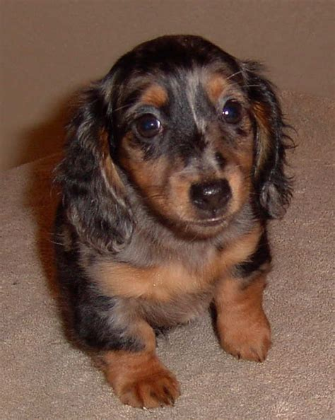Akc Dachshund Colors And Patterns - Patterns Kid