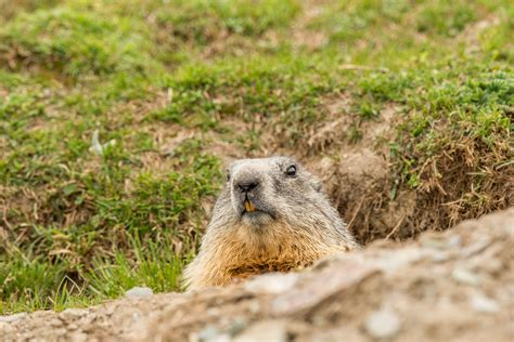 groundhog day 2016 zoo ground hog day our favorite prognosticators lakeside