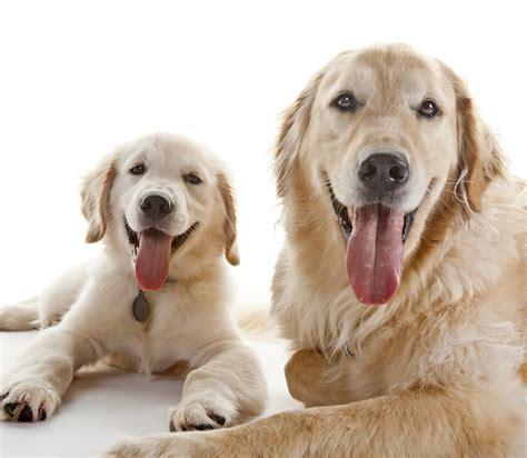 golden retriever pris 10 kul fakta om golden retriever h 228 rliga hund