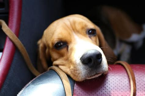 puppy gets car sick how to help prevent motion sickness in dogs dgp for pets