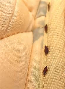 bed bugs on a mattress bedbugs in mattress covers
