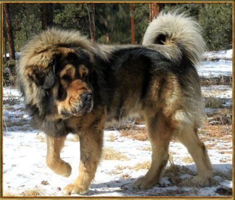 pomeranian mastiff mix mastiff growth chart all puppies pictures and wallpapers puppies bed mattress sale