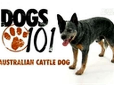 dogs 101 puppies dogs 101 australian cattle