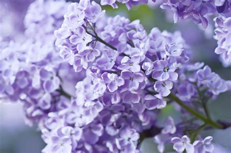 lilac flower meaning 3 of the best reasons to visit lilac park in lenox ma