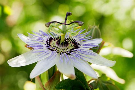 fruit flower file passionfruit flower07 jpg wikimedia commons