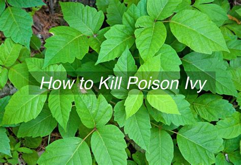 how to kill poison ivy tenth acre farm