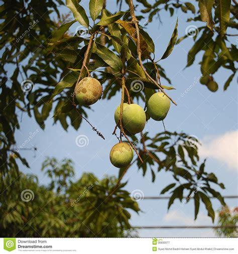 tree ripened fruit mango tree royalty free stock photography image 35830077