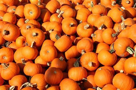 pumpkin of pumpkins pineridge