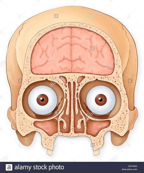 coronal section of skull normal coronal section of the skull and brain showing the