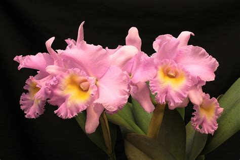 orchid colors photo orchid pink color flowers
