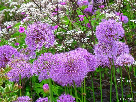 ohh my aching giant purple alliums name that plant
