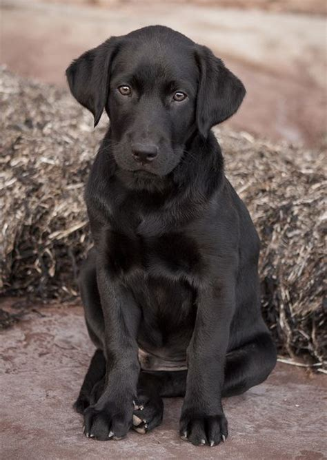 american lab puppies the world s catalog of ideas