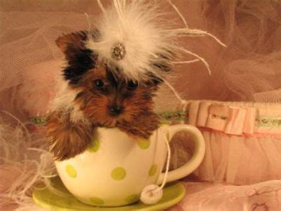 teacup yorkies for adoption in louisiana dogs baton la free classified ads